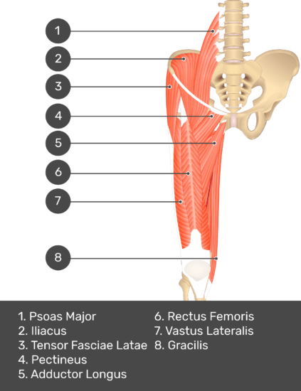 A quiz image of the anterior view of the thigh, pelvis and lower section of the vertebral column. The muscles of the anterior thigh are numbered 1 to 8. The answers revealed at the bottom are as follows 1. Psoas Major 2. Iliacus 3. Tensor Fasciae Latae 4. Pectineus 5. Adductor Longus 6. Rectus Femoris 7. Vastus Lateralis 8. Gracilis.