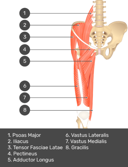 A quiz image of the anterior view of the thigh, pelvis and lower section of the vertebral column. The muscles of the anterior thigh are numbered 1 to 8. The answers revealed at the bottom are as follows 1. Psoas Major 2. Iliacus 3. Tensor Fasciae Latae 4. Pectineus 5. Adductor Longus 6. Vastus Lateralis 7. Vastus Medialis 8. Gracilis.