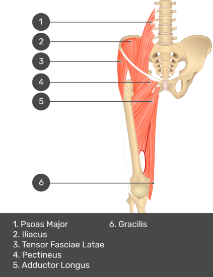 A quiz image of the anterior view of the thigh, pelvis and lower section of the vertebral column. The muscles of the anterior thigh are numbered 1 to 6. The answers revealed at the bottom are as follows 1. Psoas Major 2. Iliacus 3. Tensor Fasciae Latae 4. Pectineus 5. Adductor Longus 6. Gracilis.