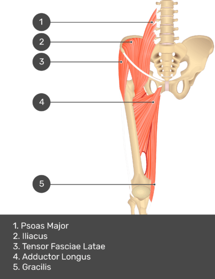 A quiz image of the anterior view of the thigh, pelvis and lower section of the vertebral column. The muscles of the anterior thigh are numbered 1 to 5. The answers revealed at the bottom are as follows 1. Psoas Major 2. Iliacus 3. Tensor Fasciae Latae 4. Adductor Longus 5. Gracilis.
