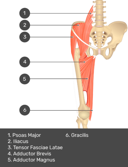A quiz image of the anterior view of the thigh, pelvis and lower section of the vertebral column. The muscles of the anterior thigh are numbered 1 to 6. The answers revealed at the bottom are as follows 1. Psoas Major 2. Iliacus 3. Tensor Fasciae Latae 4. Adductor Brevis 5. Adductor Magnus 6. Gracilis.