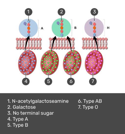 Test yourself image for the ABO blood group system with answers shown: N-acetylgalactoseamine, galactose, no terminal sugar, type A, type B, type AB, type O