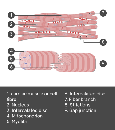 Test yourself image for the cardiac muscle tissue with answers shown; cardiac muscle fiber, nucleus, intercalated disc, mitochondrion, myofibril, intercalated disc, fiber branch, striations, gap junction