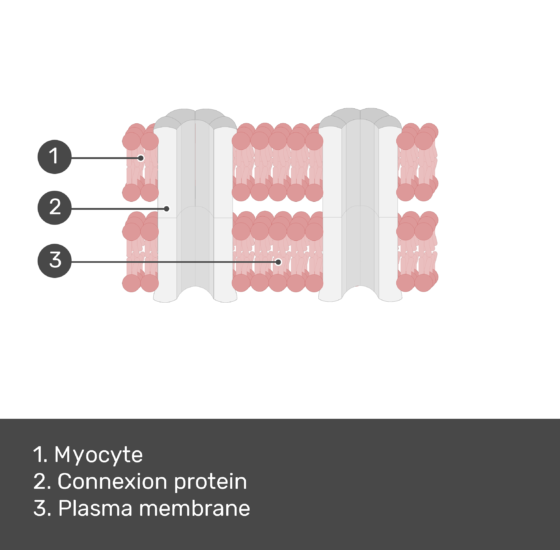 Test yourself image for the gap junction with answers shown; myocyte, connexion protein, plasma membrane
