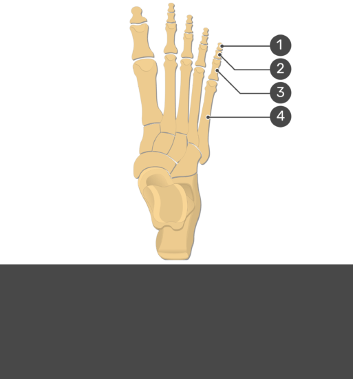 Test yourself image for the metatarsal bones and phalanges with answers hidden