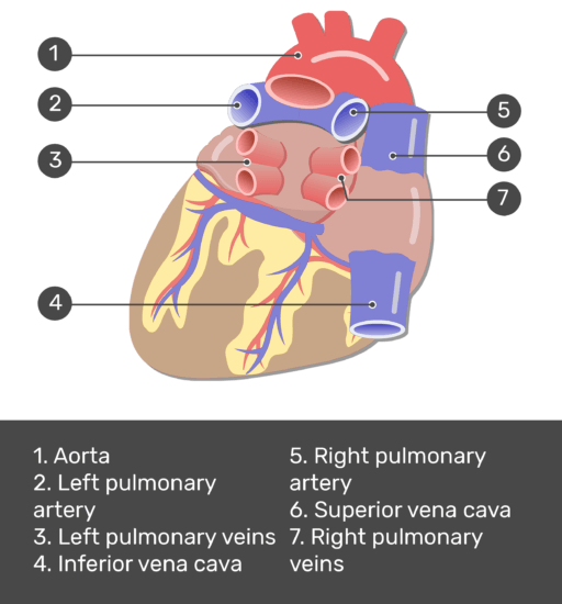Test yourself image for the posterior view of the major blood vessels of the heart with answers shown; aorta, left pulmonary artery, left pulmonary veins, inferior vena cava, right pulmonary artery, superior vena cava, right pulmonary veins.