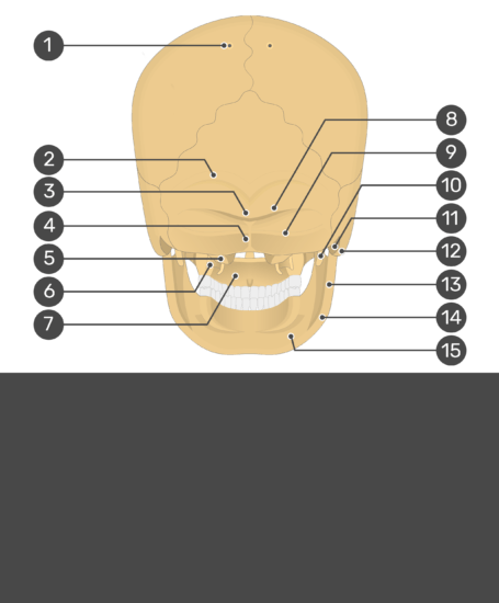 Test yourself image for the posterior view of the skull bone markings with answers hidden