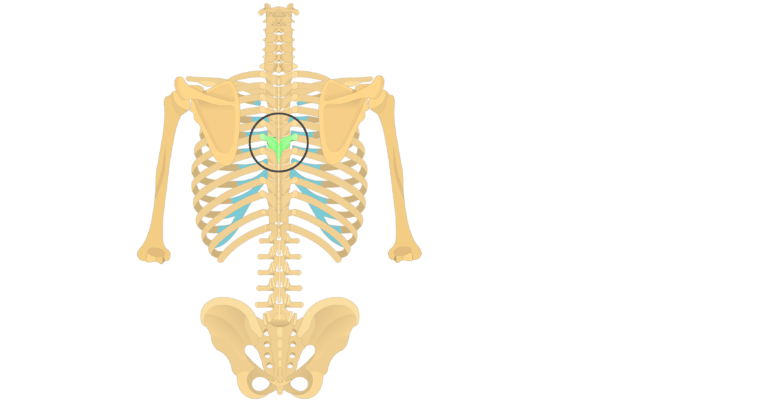 The anatomical characteristics of a thoracic vertebra animation slide 2
