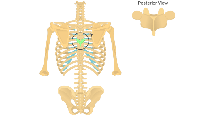 The anatomical characteristics of a thoracic vertebra animation slide 3
