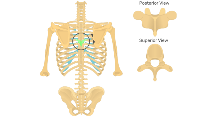 The anatomical characteristics of a thoracic vertebra animation slide 4