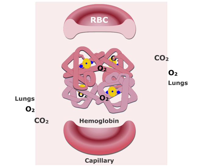 The hemoglobin molecules bonding with O2 and releasing CO2 animation slide 10
