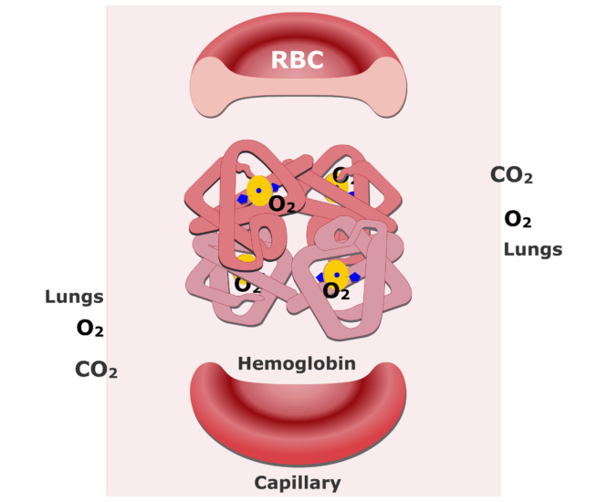 The hemoglobin molecules bonding with O2 and releasing CO2 animation slide 11