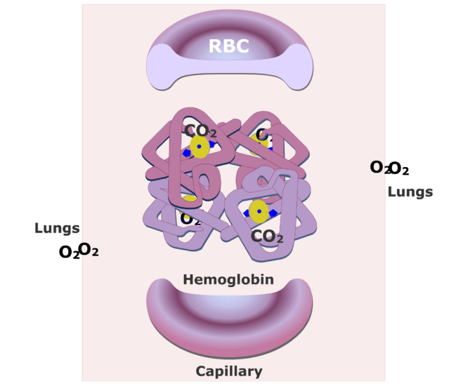 The hemoglobin molecules bonding with O2 and releasing CO2 animation slide 2