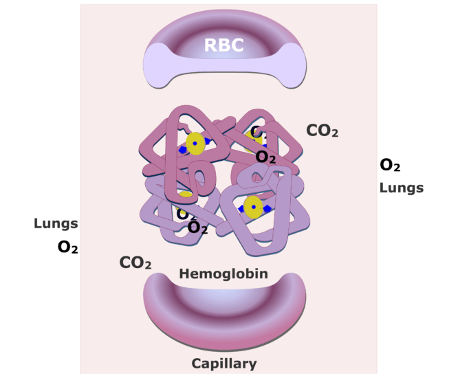 The hemoglobin molecules bonding with O2 and releasing CO2 animation slide 8