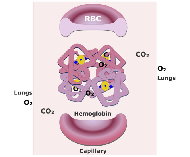 The hemoglobin molecules bonding with O2 and releasing CO2 animation slide 9