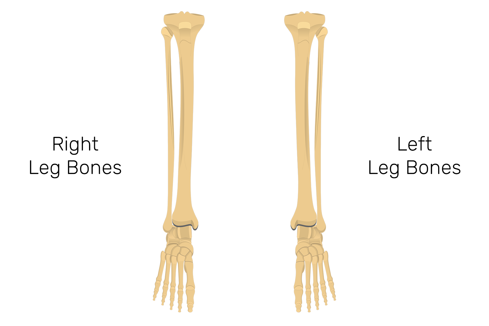 Tibia And Fibula Bones Quiz Anterior Markings