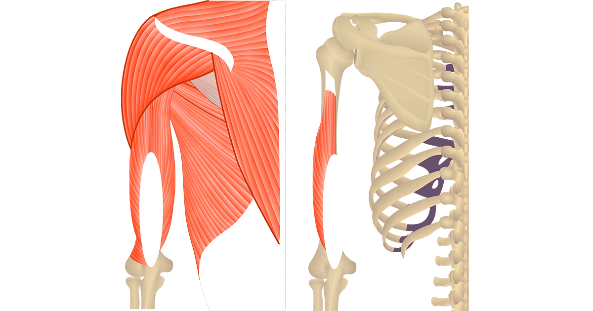 Featured image showing two views of the posterior upper arm and shoulder. The image on the left shows the bony elements and the muscles of the posterior upper arm and shoulder, the image on the left shows isolated Triceps Brachii Lateral head.