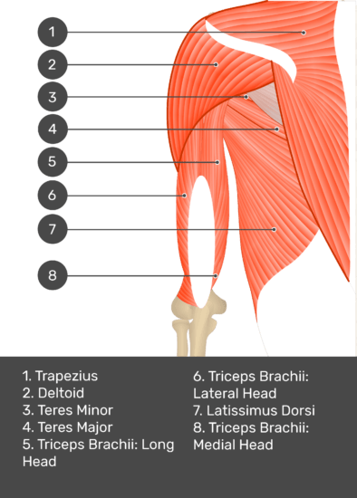 A test yourself image of the posterior view of the upper arm and shoulder showing the bony elements and the deeper muscles. The visible structures are labelled 1-8 The answers in the box below are as follows 1.Trapezius 2. Deltoid 3. Teres Minor 4. Teres Major 5. Triceps Brachii: Long Head 6. Triceps Brachii: Lateral Head 7. Latissimus Dorsi 8. Triceps Brachii: Medial Head.