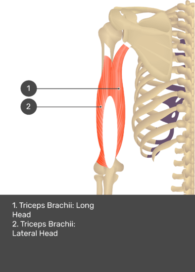 A test yourself image of the posterior view of the upper arm and shoulder showing the bony elements and the deeper muscles. The visible structures are numbered 1-2. The answers in the box below are as follows 1. Triceps Brachii: Long Head 2. Triceps Brachii: Lateral Head.
