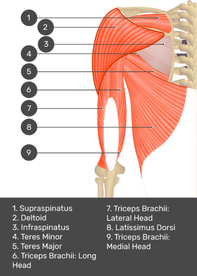 A test yourself image of the posterior view of the upper arm and shoulder showing the bony elements and the deeper muscles. The visible structures are labelled 1-9. The answers in the box below are as follows 1.Supraspinatus 2. Deltoid 3. Infraspinatus 4. Teres Minor 5.. Teres Major 6. Triceps Brachii: Long Head 7. Triceps Brachii: Lateral Head 8. Latissimus Dorsi 9. Triceps Brachii: Medial Head.