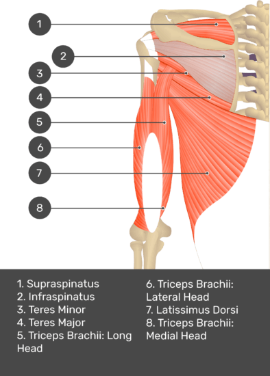 A test yourself image of the posterior view of the upper arm and shoulder showing the bony elements and the deeper muscles. The visible structures are numbered 1-8. The answers in the box below are as follows 1. Supraspinatus 2. Infraspinatus 3. Teres Minor 4. Teres Major 5. Triceps Brachii: Long Head 6. Triceps Brachii: Lateral Head 7. Latissimus Dorsi 8. Triceps Brachii: Medial Head.
