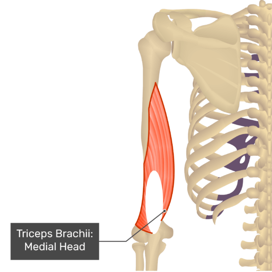 triceps brachii muscle medial head