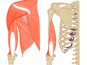 Featured image Featured image showing two views of the posterior upper arm and shoulder. The image on the left shows the bony elements and the muscles of the posterior upper arm and shoulder, the image on the right shows isolated Triceps Brachii Medial head.