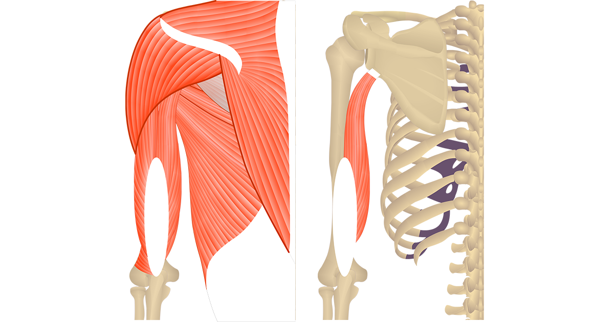 Featured image showing two views of the posterior upper arm and shoulder. The image on the left shows the bony elements and the muscles of the posterior upper arm and shoulder, the image on the left shows isolated Triceps Brachii Long head.