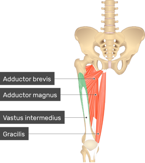 An image showing the Vastus Intermedius Muscle (highlighted) attached to the lower limb along with other muscles (Adductor brevis, Adductor magnus and Gracilis)