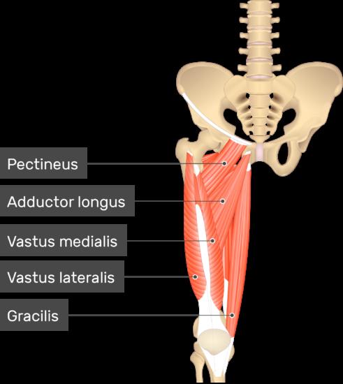 Vastus Intermedius Muscle