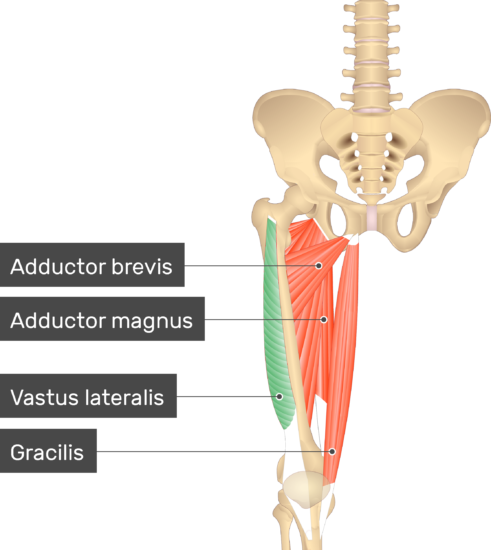 An image showing the Vastus Lateralis Muscle (highlighted) attached to the lower limb along with other muscles (Adductor brevis, Adductor magnus and Gracilis)
