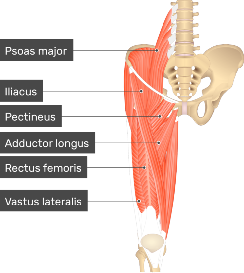 An image showing the lower limb muscles (Pectineus, Iliacus, Psoas major, Adductor longus, Rectus femoris, Vastus lateralis) which are covering the Vastus Medialis Muscle