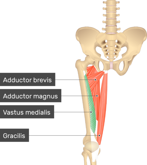 An image showing the Vastus Medialis Muscle (highlighted) attached to the lower limb along with other muscles (Adductor brevis, Adductor magnus and Gracilis)