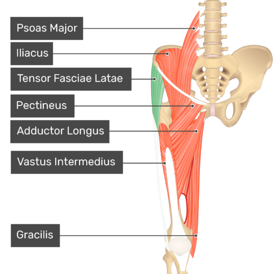 The anterior view of the thigh, pelvis and lower section of the vertebral column. The visible labelled muscles include Psoas Major, Iliacus, Tensor Fasciae Latae (highlighted in green), Pectineus, Adductor Longus, Vastus Intermedius, Gracilis.