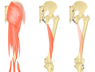 Feature image showing three images of posterior view of thigh and gluteal region and biceps femoris long head.
