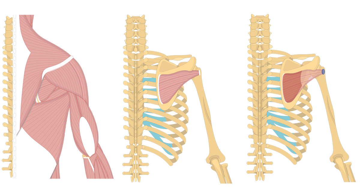 Feature image containing three images of the posterior view of the back and arm showing infraspinatus.