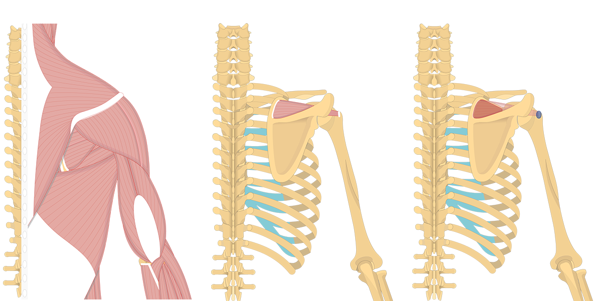Feature image showing three images of the posterior back and arm with supraspinatus and supraspinatus origin and insertion.