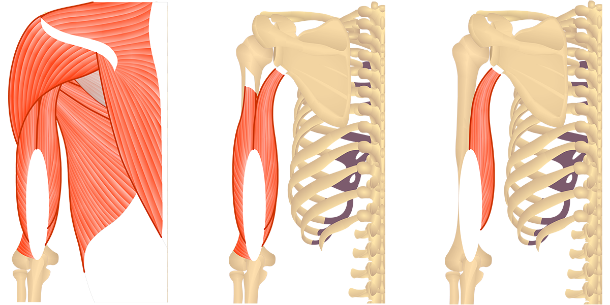 Feature image showing posterior view of muscles of posterior arm and back and triceps brachii.