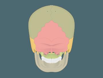 Skeletal System Quizzes