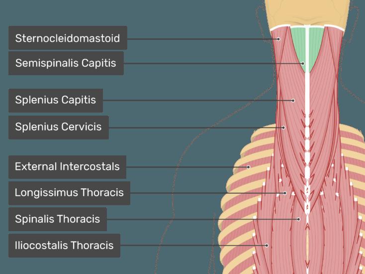 semispinalis capitis muscle