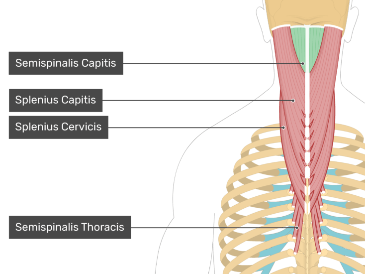 Posterior view of the occipital region of the skull, cervical and thoracic regions of the spinal column, upper arm, scapulae and a deeper layer of the attached muscles. The labelled muscles are Semispinalis Capitis (highlighted in green), Splenius Capitis, Splenius Cervicis, Semispinalis Thoracis.
