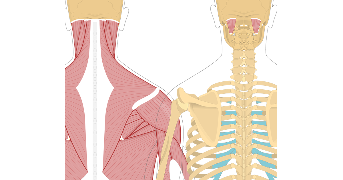 Featured image showing two views of the posterior view of the occipital region of the skull, cervical and thoracic regions of the spinal column, upper arm and scapulae. The image on the left shows the bony elements and the muscles of the back and next, the image on the right shows isolated Obliquus Capitis Superior Muscle.