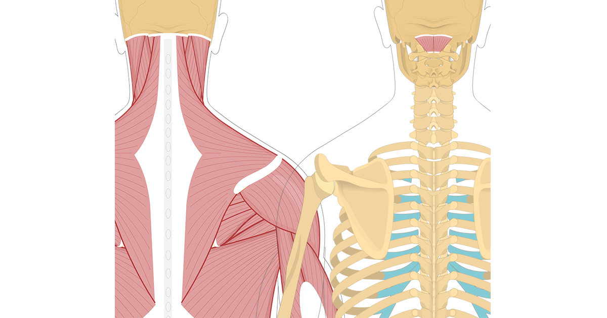 Featured image showing two views of the posterior view of the occipital region of the skull, cervical and thoracic regions of the spinal column, upper arm and scapulae. The image on the left shows the bony elements and the muscles of the back and next, the image on the right shows isolated Rectus Capitis Posterior Minor Muscle.