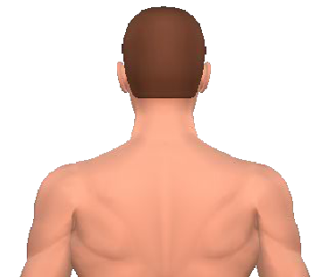 Slide 1 of the animation showing rotation of the head opposite to the acting muscle.