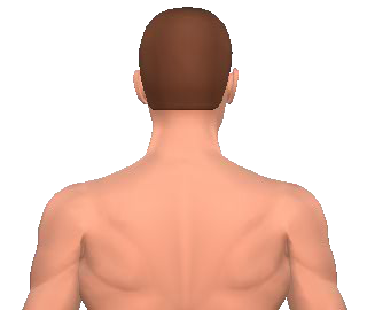 Slide 2 of the animation showing rotation of the head opposite to the acting muscle.