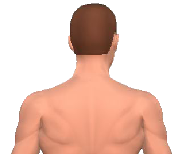 Slide 3 of the animation showing rotation of the head opposite to the acting muscle.