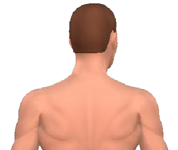 Slide 4 of the animation showing rotation of the head opposite to the acting muscle.