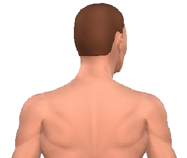 Slide 5 of the animation showing rotation of the head opposite to the acting muscle.