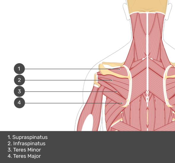 A quiz image of the posterior view of the occipital region of the skull, cervical and thoracic regions of the spinal column, upper arm, scapulae and the deeper muscle layer. The muscles of the back and neck are labelled 1-4. The answers at the bottom are as follows 1. Supraspinatus 2. Infraspinatus 3. Teres Minor 4. Teres Major.