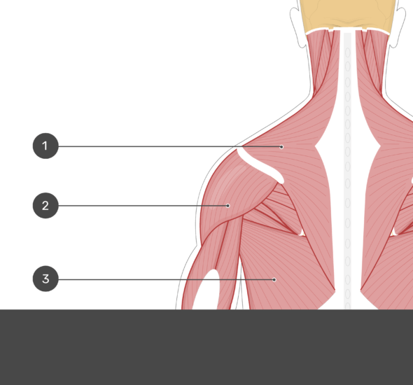 A quiz image of the posterior view of the occipital region of the skull, cervical and thoracic regions of the spinal column, upper arm, scapulae and the most superficial muscle layer. Muscles are labelled 1-3 and the answers are concealed.